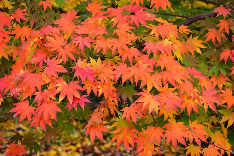 Japanese Maple Acer Palmatum In Toronto Ontario On At