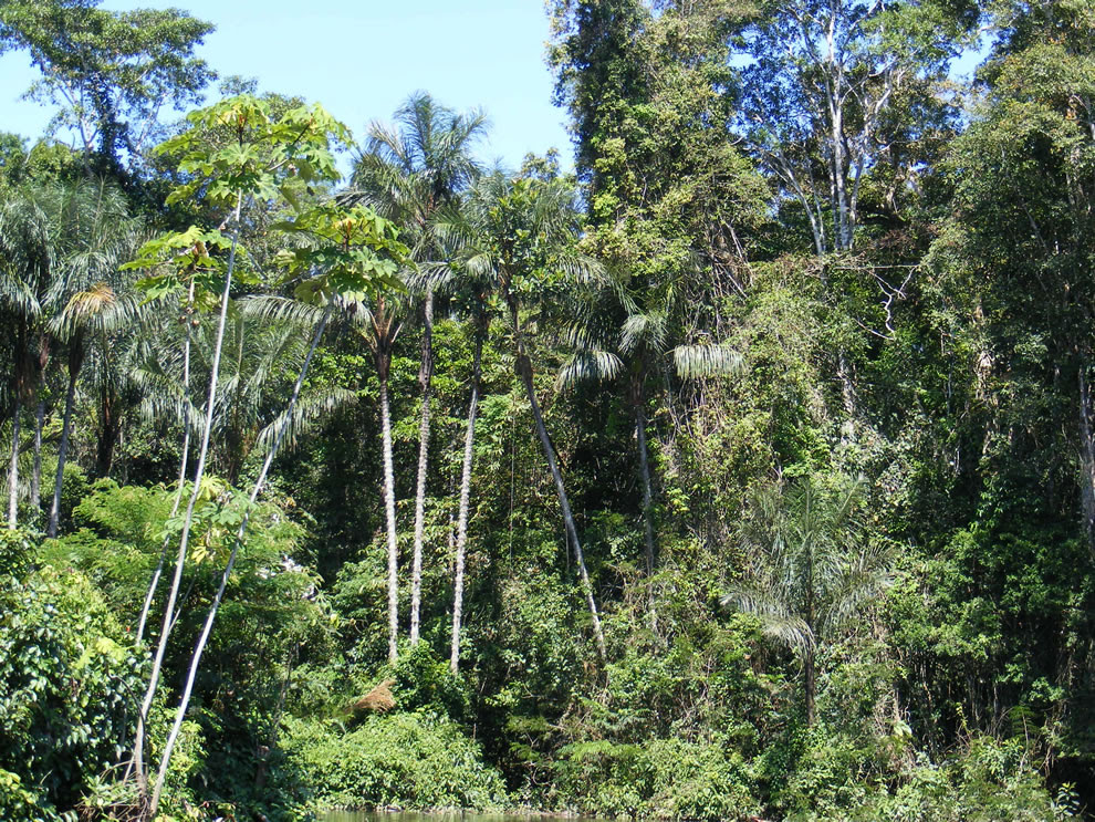 Amazonian rainforest, upper Amazon basin, Loreto region, Peru