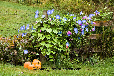 Morning Glories and Pumpkins, Richland County, Wisconsin