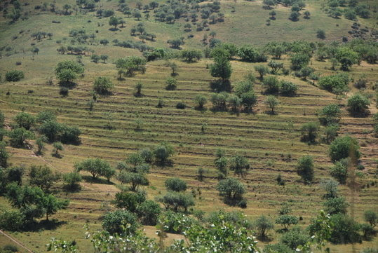 A modern Pistachio plantation in the Pamir Mountains of Uzbekistan, photo taken in 2013. The wild progenitor of our modern pistachio was one of the dominant species in the ancient fruit and nut forests that once covered the foothills of Inner Asia.