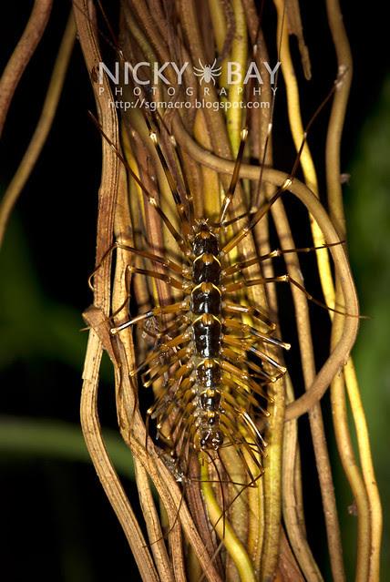 House Centipede (Scutigeridae) - DSC_0403