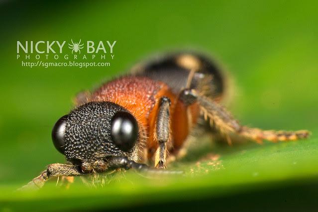 Velvet Ant (Mutillidae) - DSC_9926
