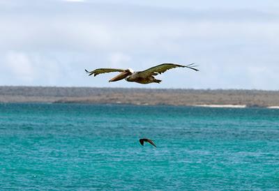 Brown Pelican with Great Frigate below off Santa Cruz Island