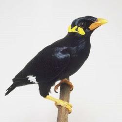 Beo nias yang memiliki ukuran  paling besar dibandingkan subspesies beo lainnya paling p Burung Beo Nias Berbicara