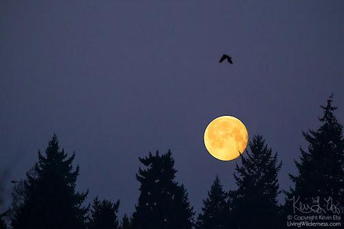 Black Crow and Full Moon, Bothell, Washington