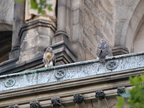 Red-Tail Fledglings