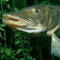 Календарь рыболова на июнь 2015, календарь рыбака на июнь, календарь клева рыбы в июне, календарь рыболова июнь, луннный календарь рыболова на июнь 2015, лунный календарь клева рыбы июнь 2015, как ловить рыбу в июне, какую рыбу ловить в июне, на что ловить рыбу в июне, как клюет рыба в июне, рыбалка в июне
