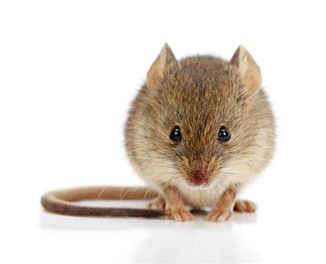 Animal Friendly Ways to Get Rid Of Mice   SafeBee