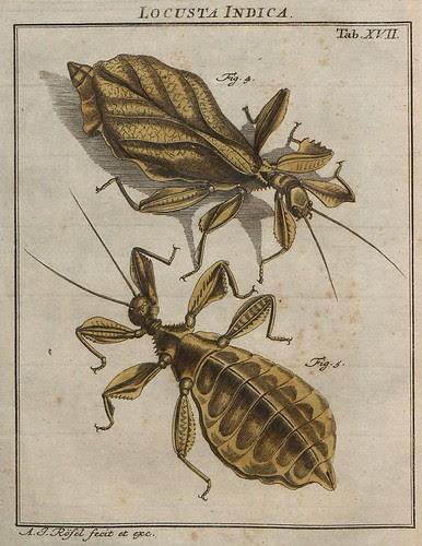 Locusta Indica V.2