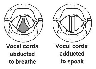 Vocal cord diagram