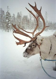 reindeer...<3