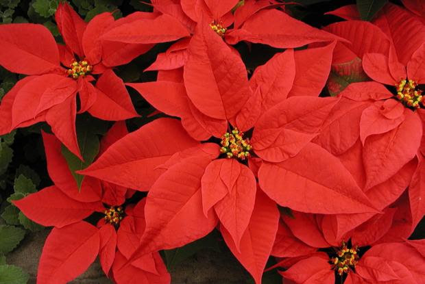 Encouraging Your Poinsettia To Rebloom Space For Life