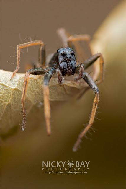 Wolf Spider (Lycosidae) - DSC_3419
