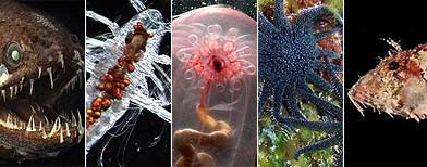 Dragonfish (AP), Eaugaptilis hyperboreus (AP), Transparent sea cucumber (AP), Sunflower Sea Stars (AFP), Scorpionfish (AFP)