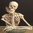 Esqueleto humano, miembros superiores