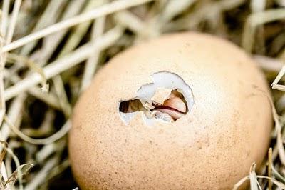 9 Cara memilih Telur Ayam dan Bebek yang Baik untuk di Tetaskan
