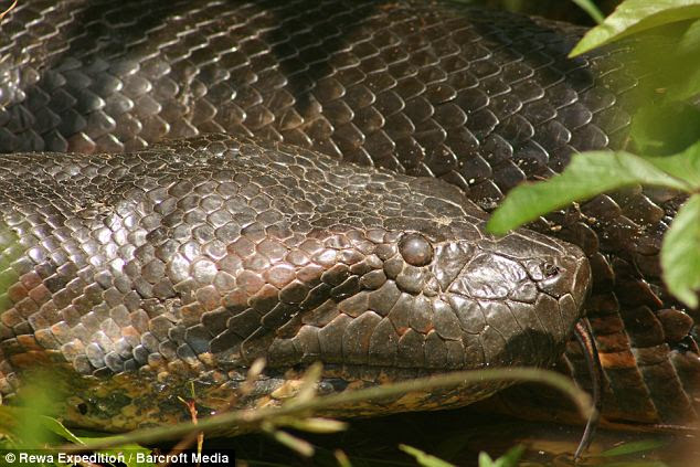 Cold blooded: A close up of the Guyanese anaconda, which weighed around 100kg and had a girth of 27ins