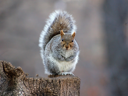 Gray Squirrel in Morningside Park