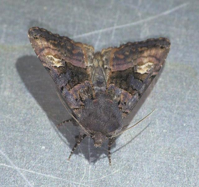 Purple Clay moth DSC_4118