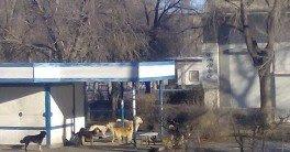 АСТРАХАНЬ. На севере Астраханской области предупреждают об опасной стае собак