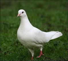 Güvercinler Hakkında Bilgi