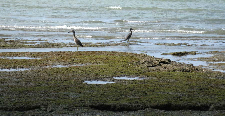 Boat-billed Herons