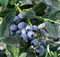 Misty Blueberries