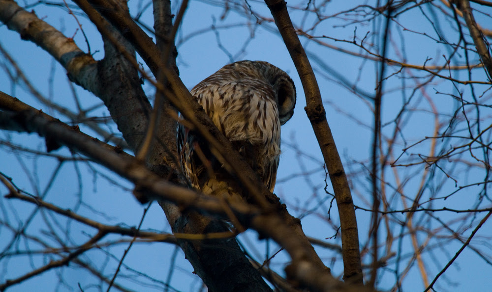 Barred Owl 2013