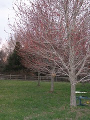 Color on the maples