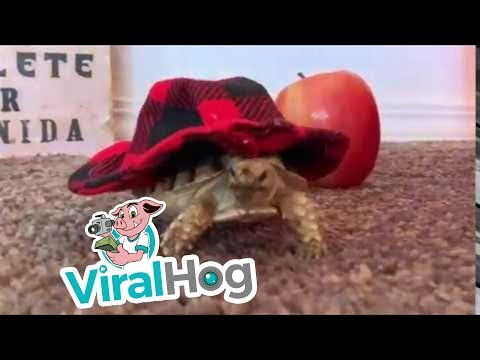 Tortuga tiene una colección de sombreros