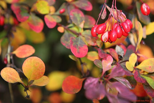 Barberry in Autumn by Seattle Daily Photo
