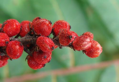 sumac fruit close up, natural color