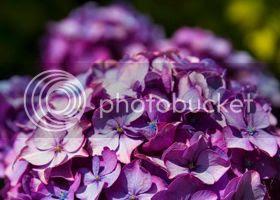 photo Hydrangea.jpg