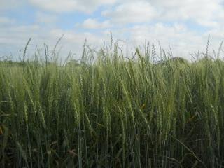 Closeup of 2015 Wheat, Early May