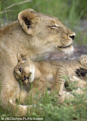 This fluffy lion cub
