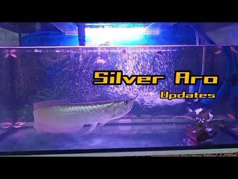Silver Arowana Updates