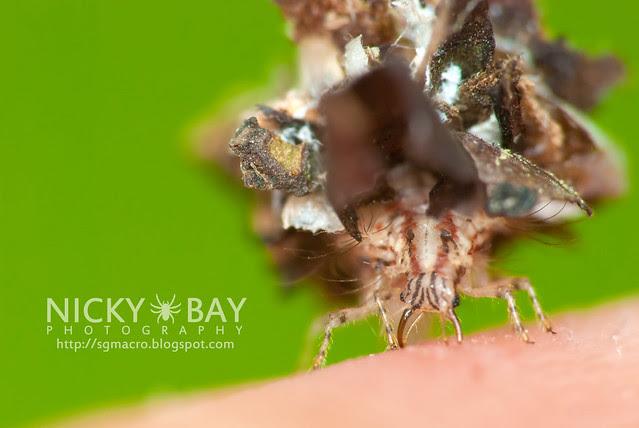 Lacewing larva (Chrysopidae) - DSC_1248