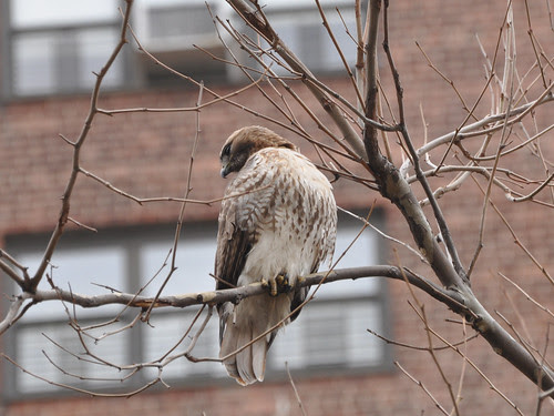 Red-Tail in the Projects