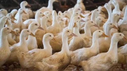 Un empleado encubierto revela atroces abusos en las granjas de patos que deben detenerse ya