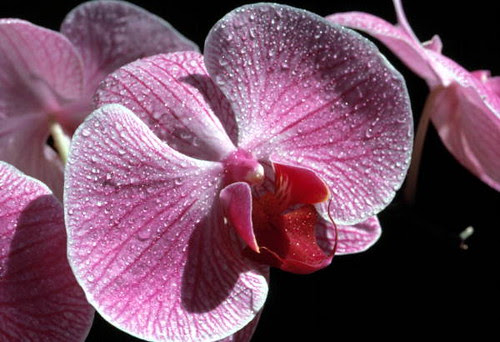 Phalaenopsis orchid: Key West, Florida by State Library and Archives of Florida