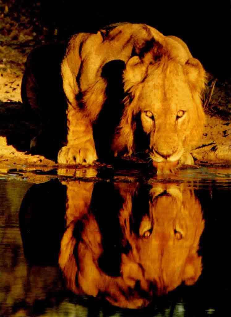Leõa bebendo água