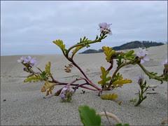 Searocket at Agate Beach, OR