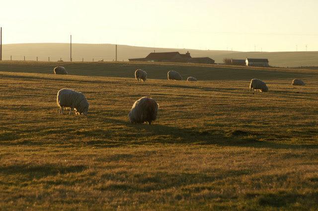 File:Sheep in winter sun, Baltasound - geograph.org.uk - 637025.jpg