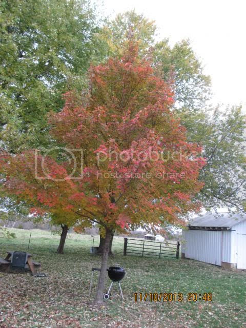 October Glory Red Maple turning very late 2013 photo IMG_0336_zps7083167a.jpg