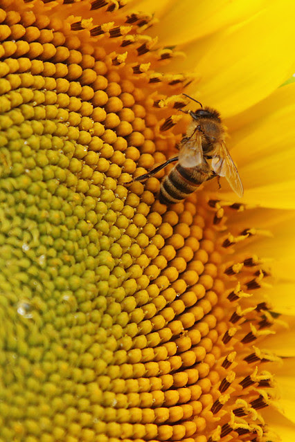 A bee collecting nectar on a sunflower in Provence, France