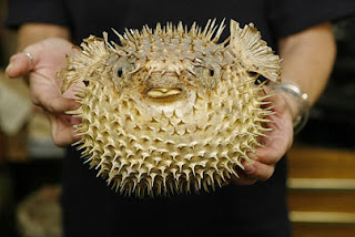 Stuffed (and lost) Puffer Fish