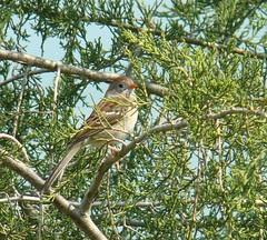 Field sparrow camp dennison