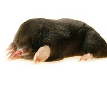 Facts About Moles Mole Facts Havahart Us