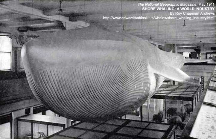 Skull of a Blue Whale