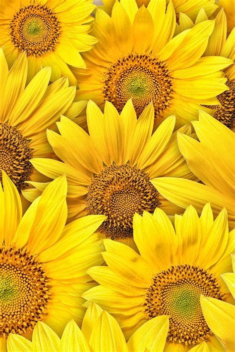 Sunflowers iphone 4S wallpaper 640x960    : ?iPhone??